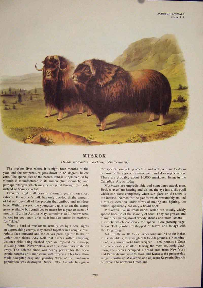 Print Muskox Color Bull Quadruped Audubon 996491 Old Original