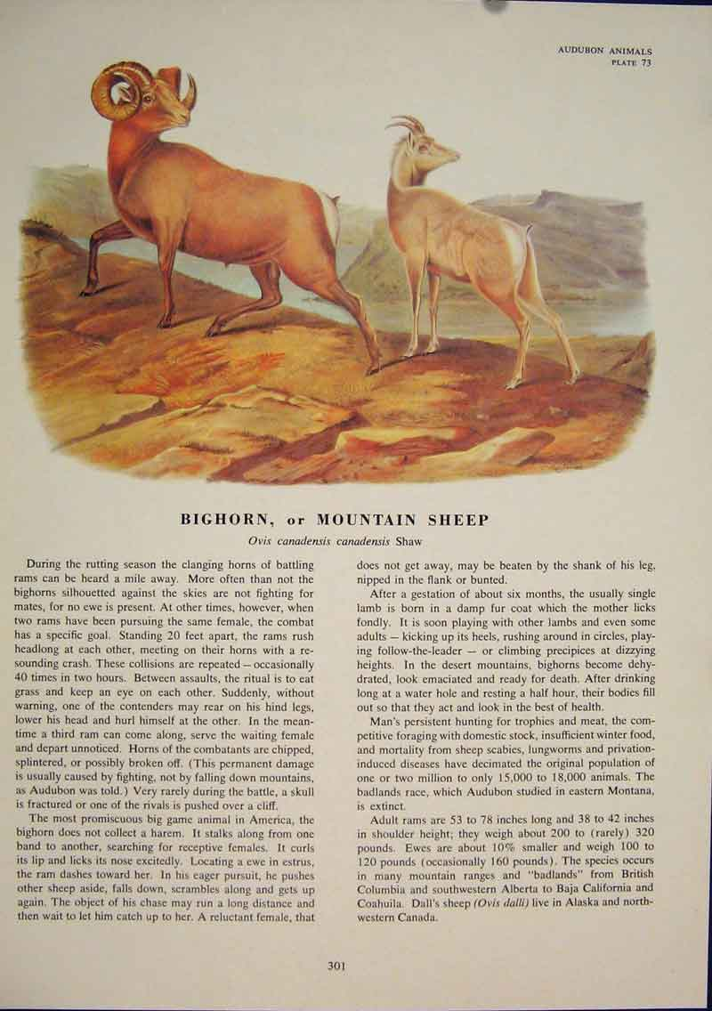 Print Bighorn Mountain Sheep Color Quadruped Audubon 016491 Old Original