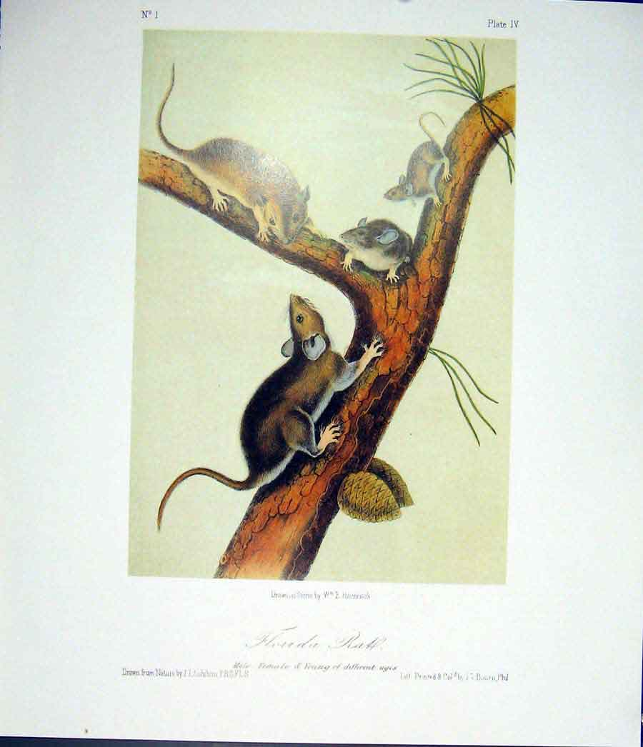 Print Rat Rodant Quadruped Audubon Color 286511 Old Original