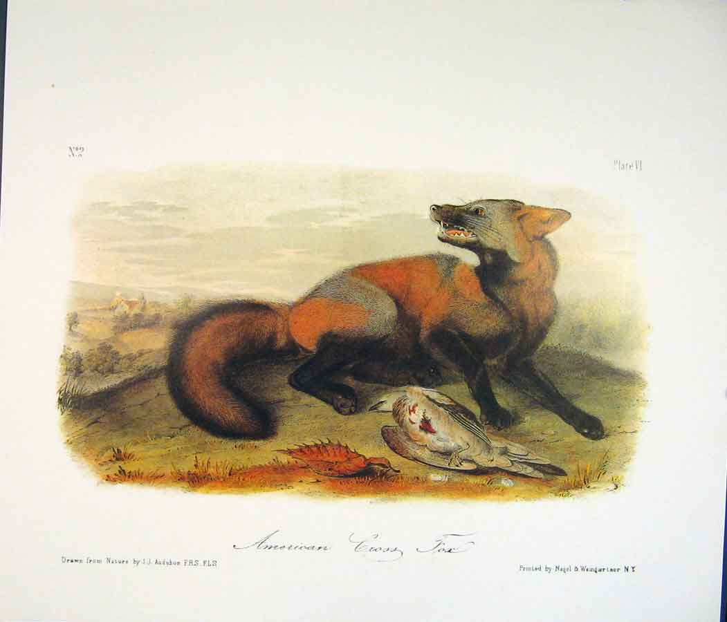 Print Fox Foxes Quadruped Audubon Color 326511 Old Original