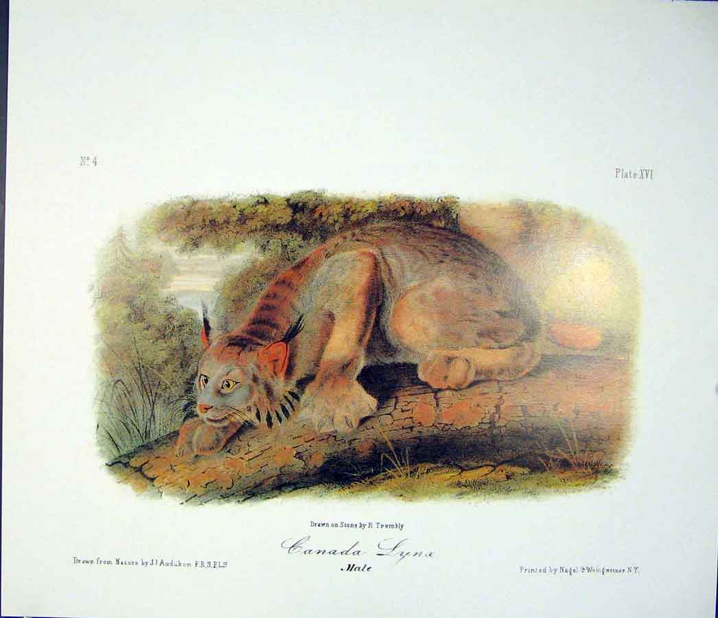 Print Lynx Quadruped Audubon Color Fine Art 666511 Old Original