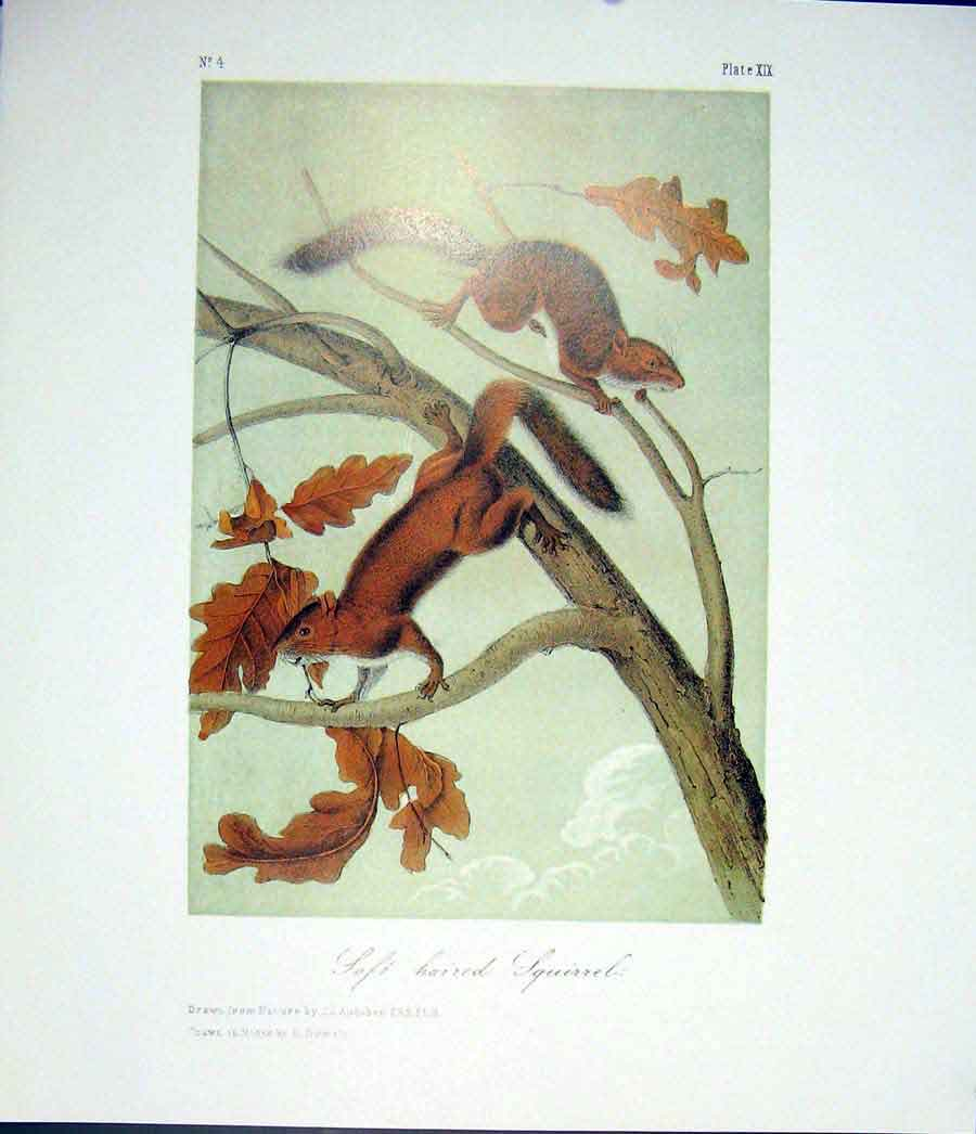 Print Squirrels Squirrels Quadruped Audubon Color 746511 Old Original