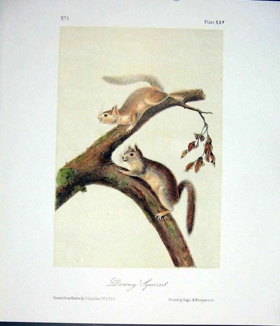 Print Squirrel Squirells Quadruped Audubon Color 926511 Old Original