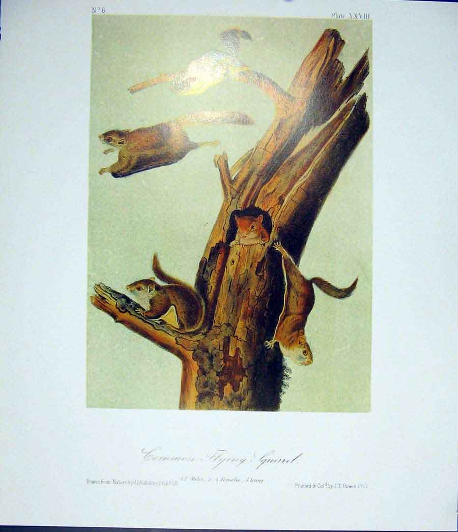 Print Quadruped Audubon Color Fine Art 006511 Old Original