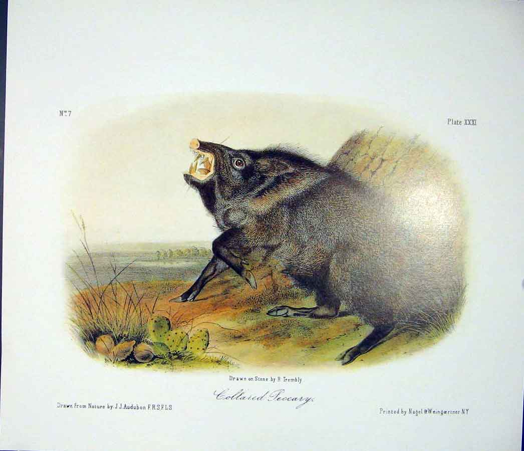 Print Peccary Quadruped Audubon Color Art 066511 Old Original