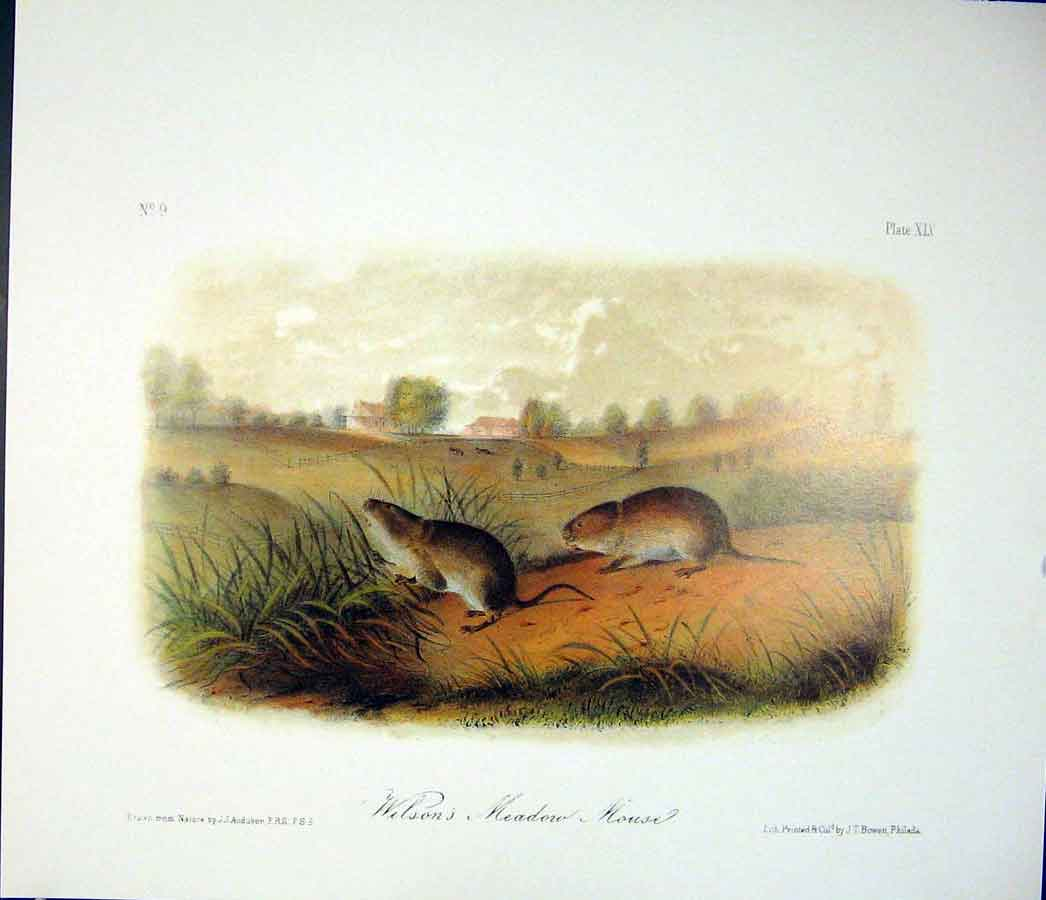 Print Mouse Rodant Quadruped Audubon Color 486511 Old Original
