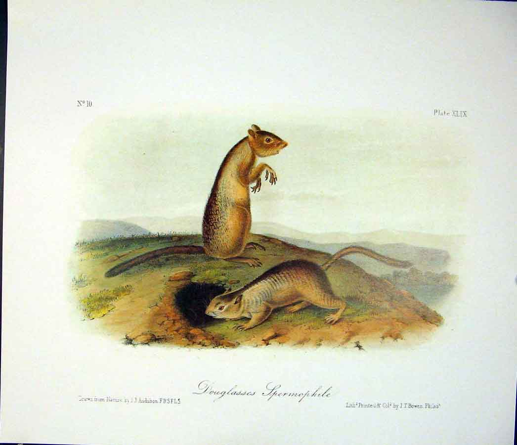 Print Spermophile Quadruped Audubon Color 606511 Old Original