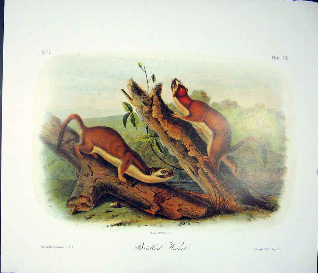 Print Weasel Quadruped Audubon Color 906511 Old Original