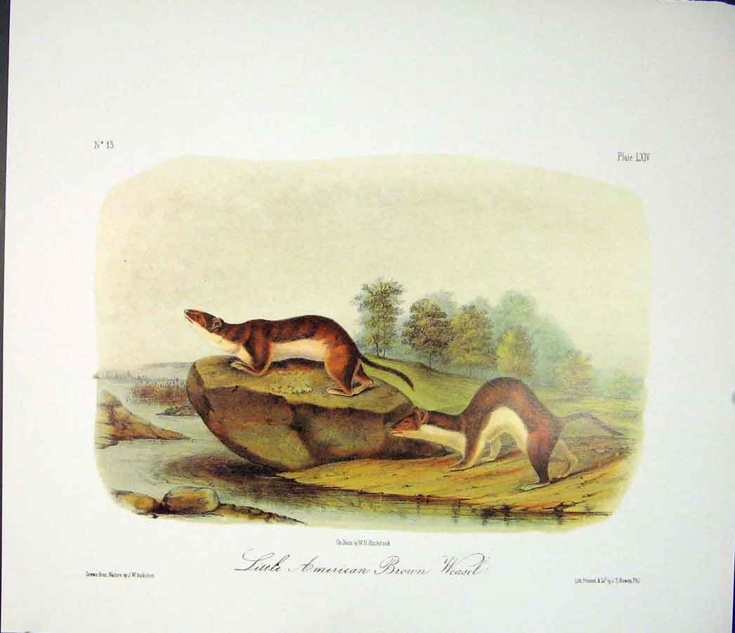 Print Brown Weasel Color Quadruped Audubon 026511 Old Original