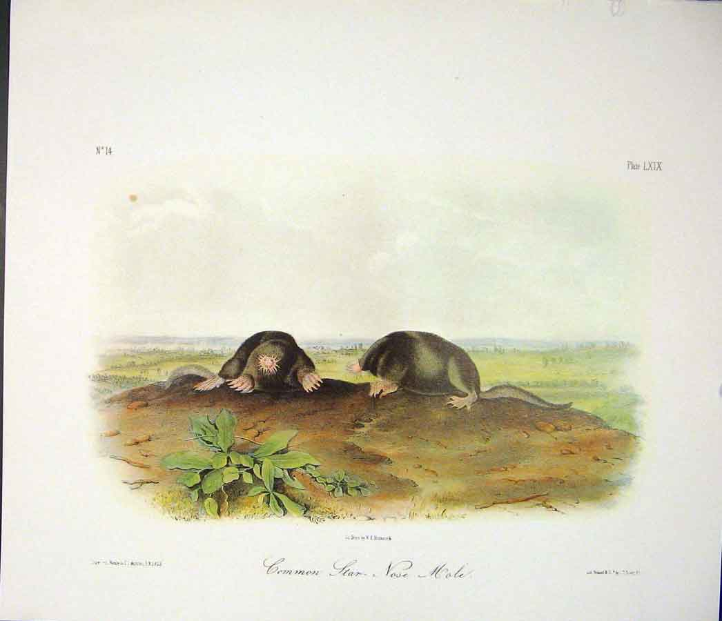 Print Mole Rodant Quadruped Audubon Color 186511 Old Original