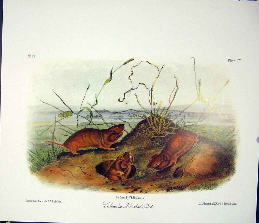 Print Pouched Rat Quadruped Audubon Color 086511 Old Original