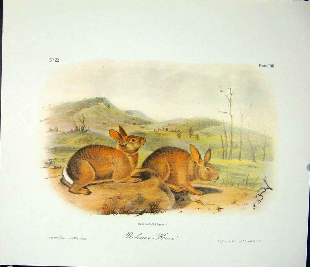 Print Hare Hares Rabbit Quadruped Audubon Color 146511 Old Original