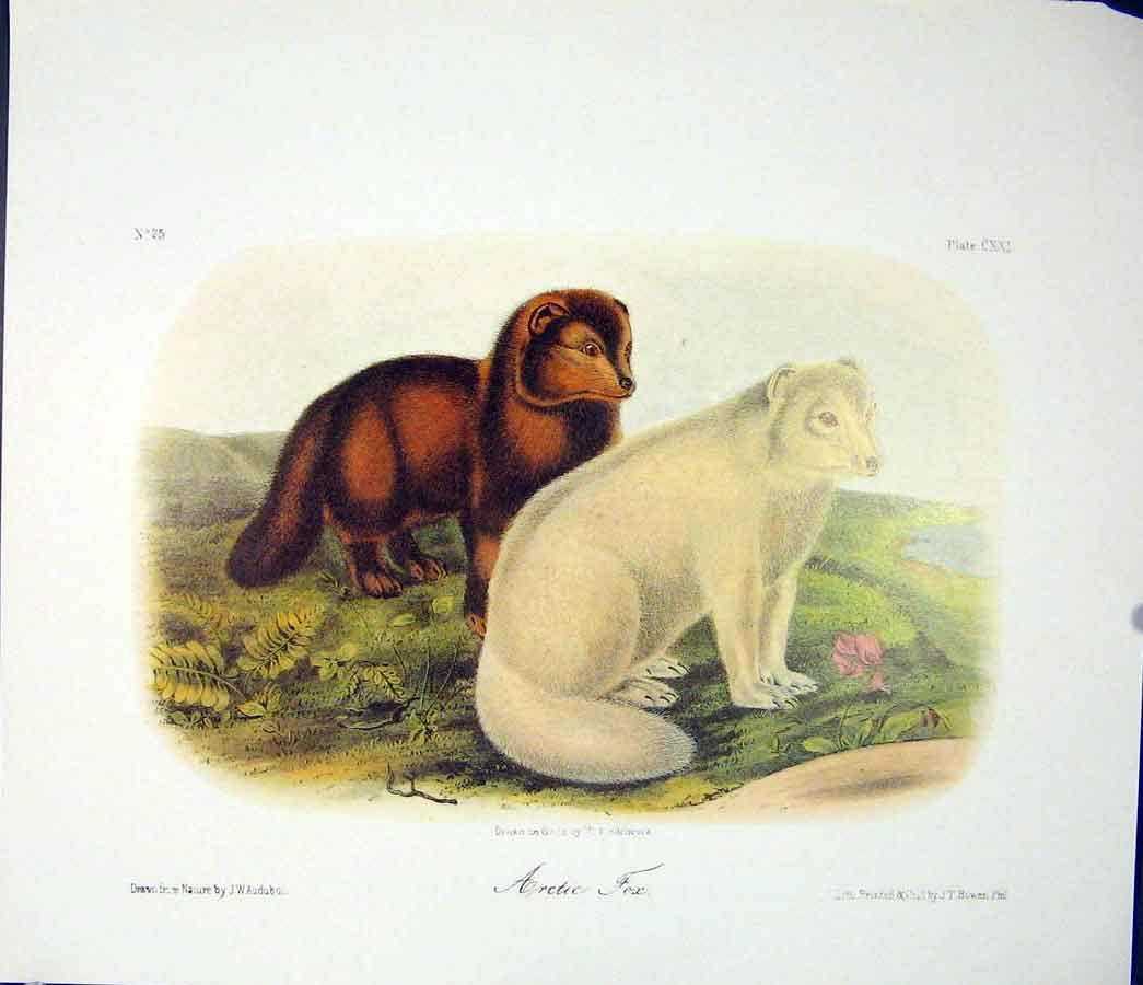 Print Artic Fox Foxes Quadruped Audubon Color 426511 Old Original
