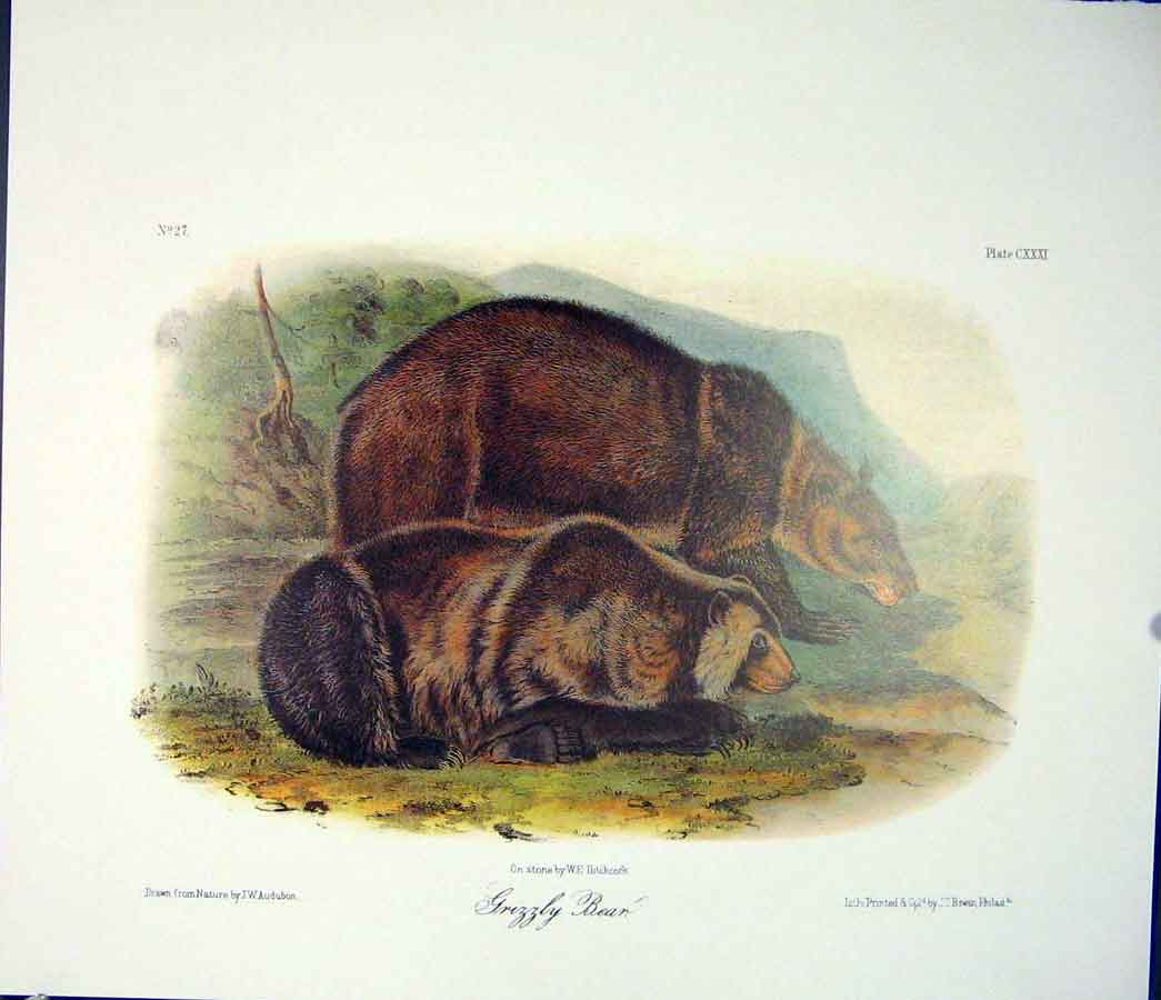 Print Grizzly Bear Quadruped Audubon Color 666511 Old Original