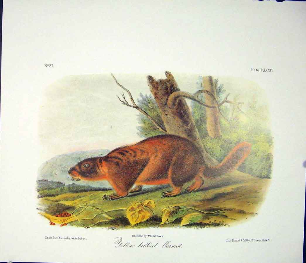 Print Harmot Yellow Billied Quadruped Audubon Color 746511 Old Original