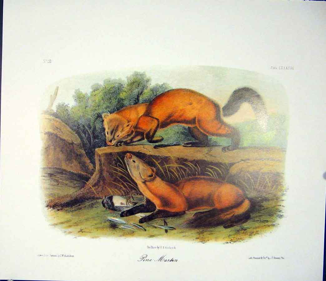 Print Pine Marbon Quadruped Audubon Color 826511 Old Original