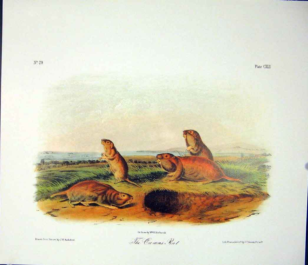 Print Camas Rat Rodant Quadruped Audubon Color 906511 Old Original