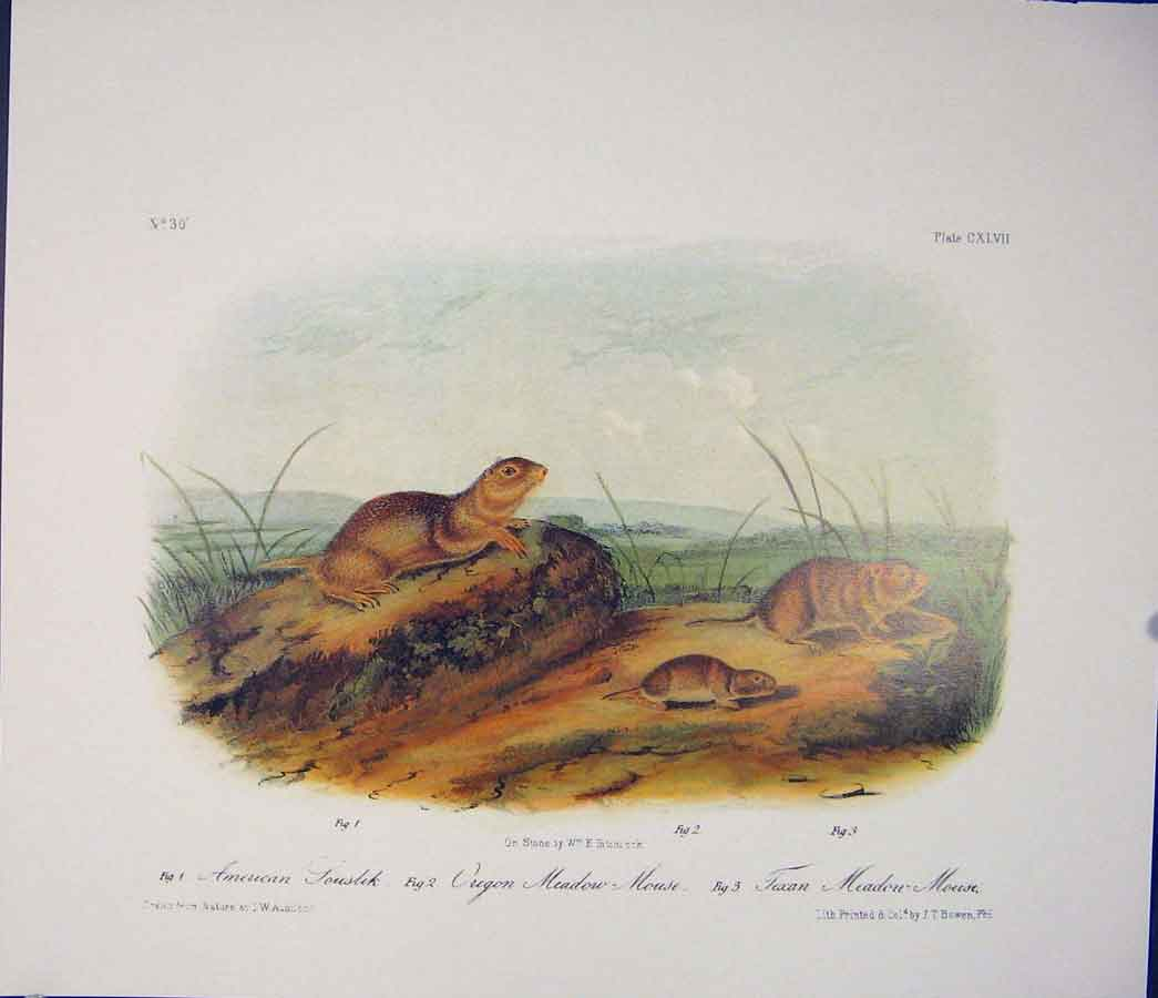 Print Souslik Mouse Rodant Quadruped Audubon Color 026511 Old Original