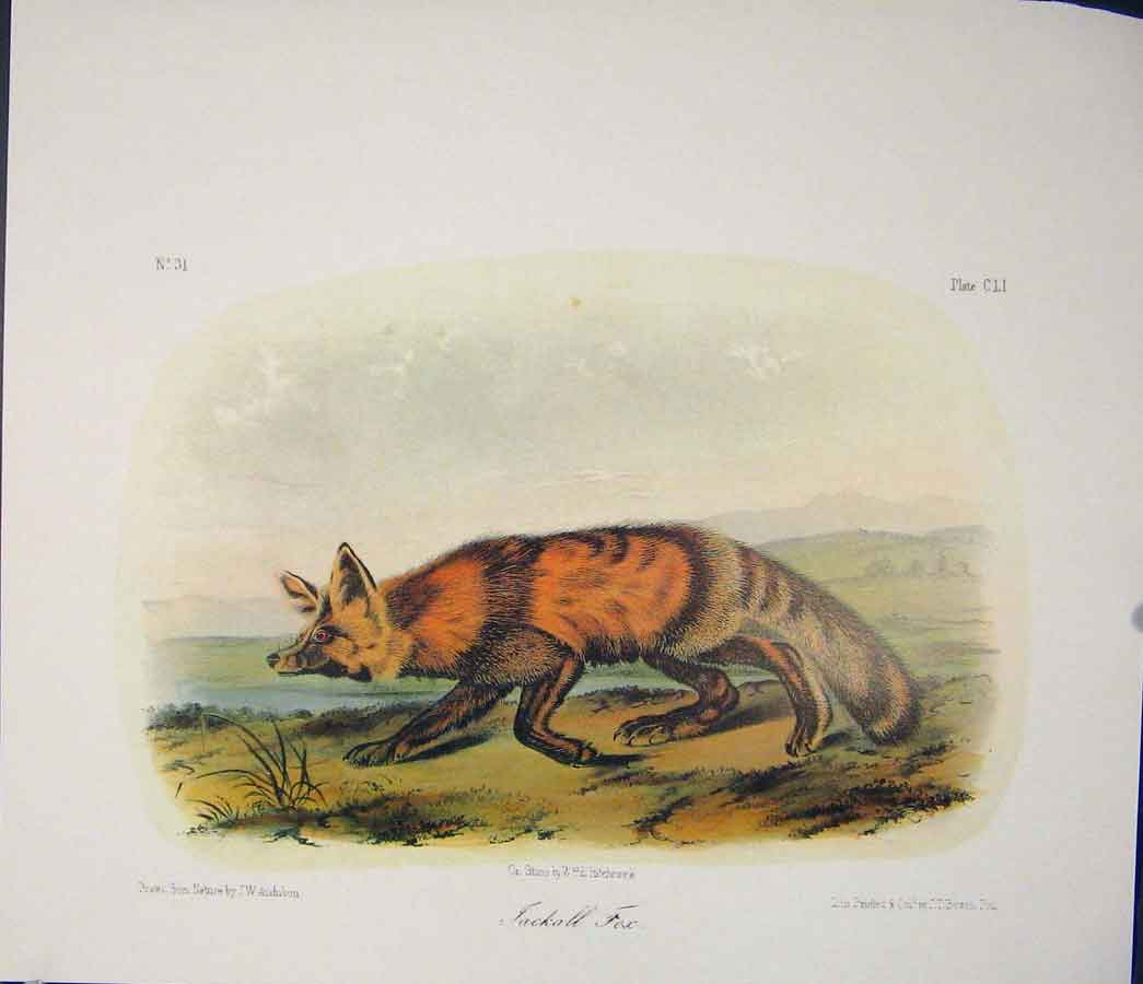 Print Jackall Fox Foxes Jackalls Quadruped Audubon Color Art 146511 Old Original