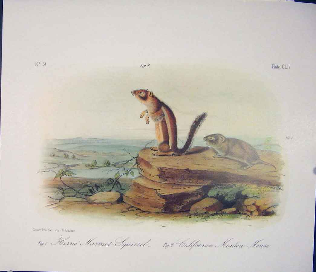 Print Squirrel Meadow Mouse Quadruped Audubon Color 206511 Old Original