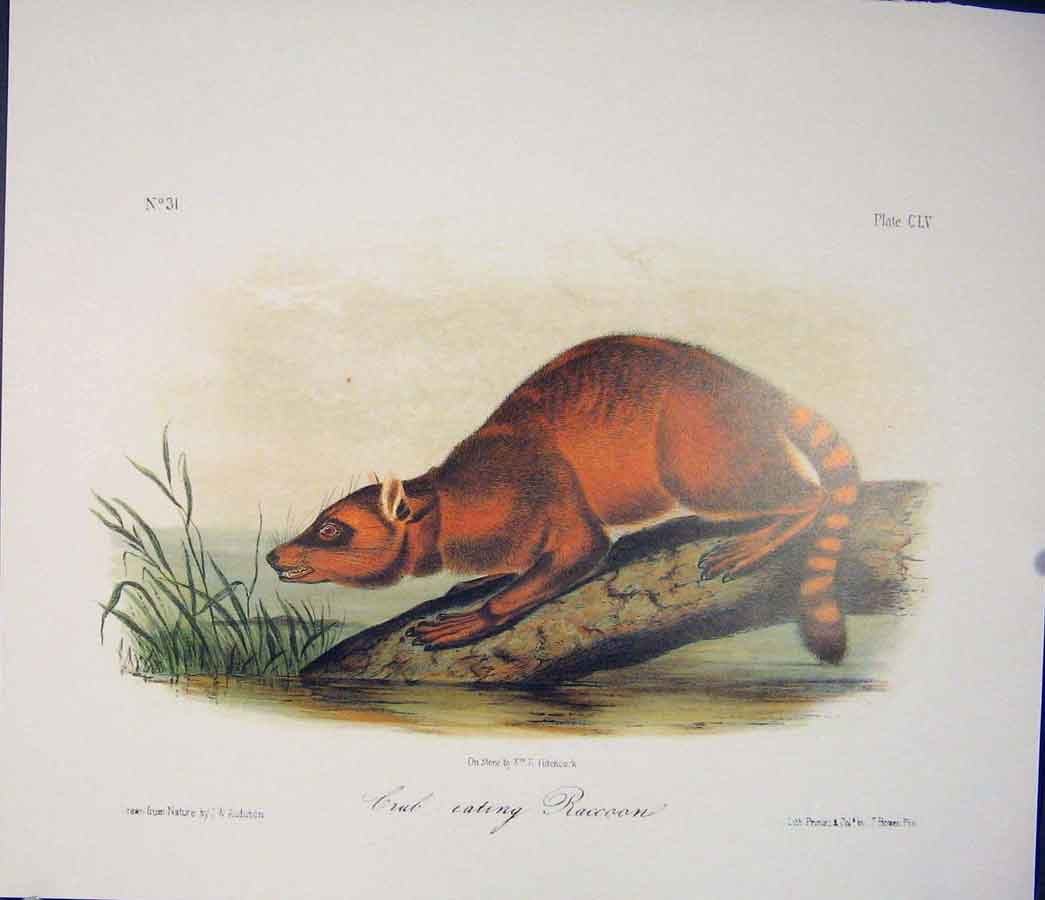 Print Raccoon Crab Quadruped Audubon Color 226511 Old Original