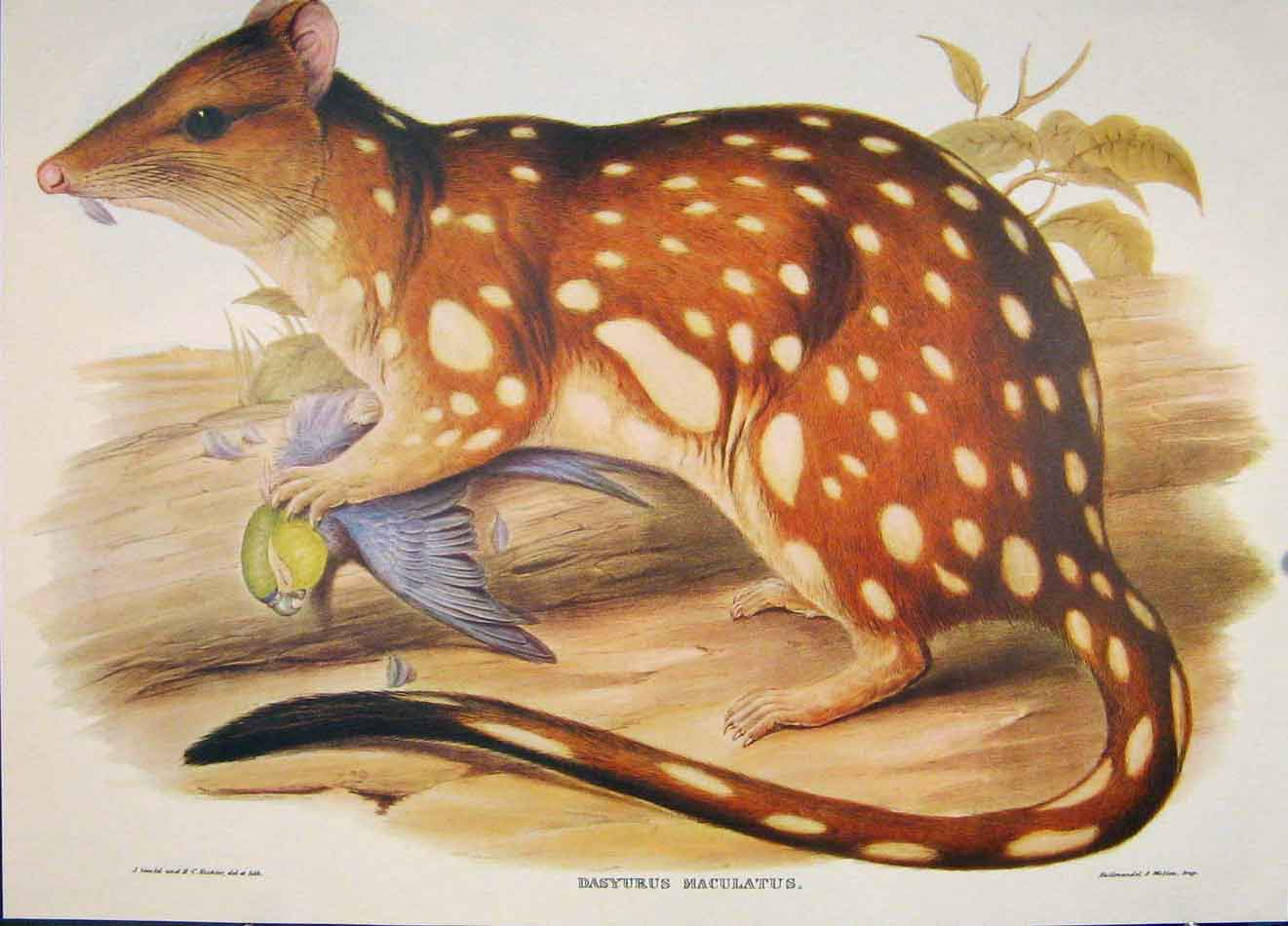 Print Gould's Mammals Australia 1863 Spotted Tailed Dasyurus 486521 Old Original