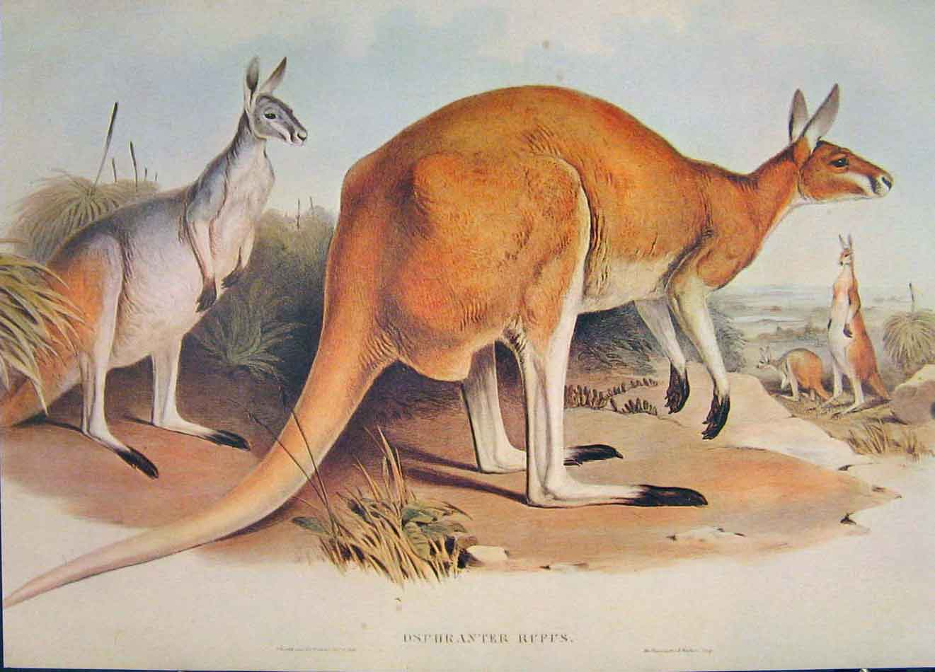 Print Gould's Mammals Australia 1863Great Red Kangaroo Rufus 686521 Old Original