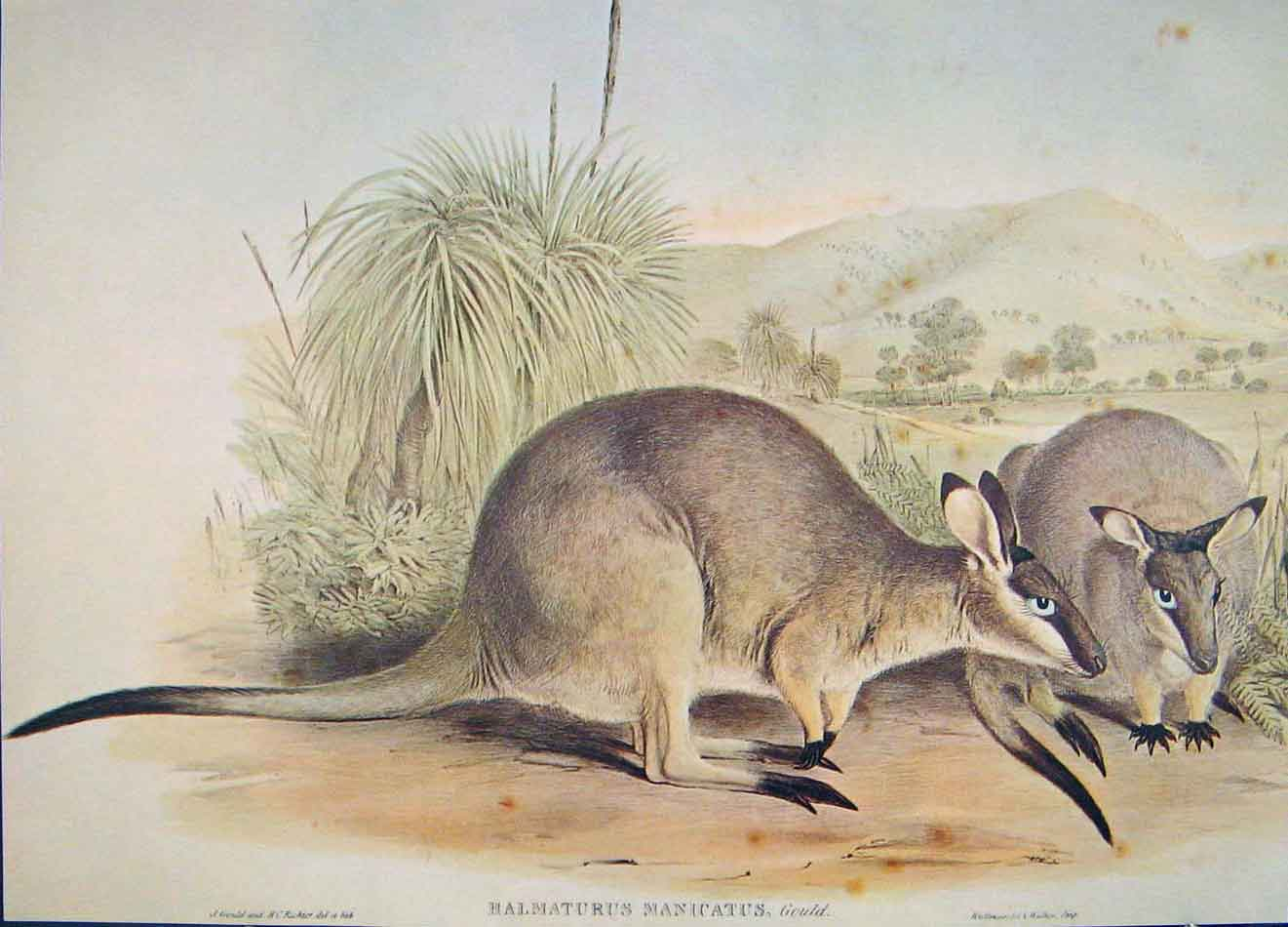 Print Gould's Mammals Australia 1863 Black Gloved Wallaby 746521 Old Original