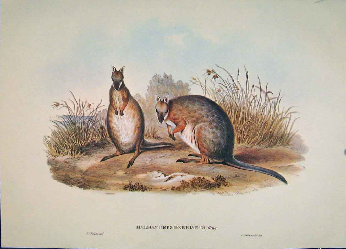 Print Gould's Mammals Australia 1863 Derby'S Wallaby 1977 786521 Old Original