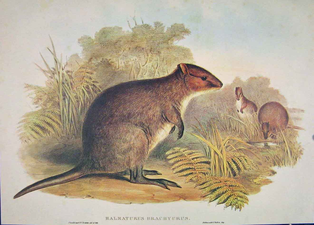 Print Gould's Mammals Australia 1863 Short Tailed Wallaby 806521 Old Original