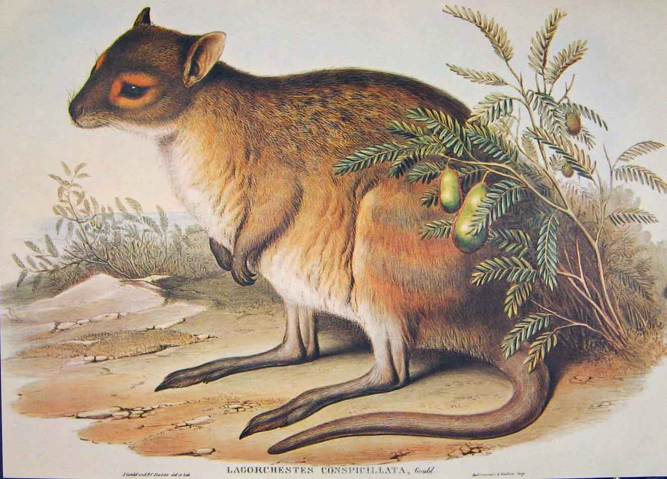 Print Gould's Mammals Australia 1863 Spectacled Hare Kangaroo 926521 Old Original