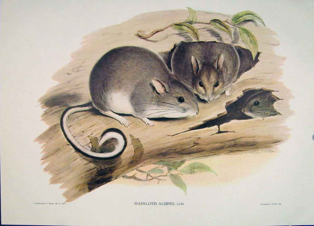 Print Gould's Mammals Australia 1863 White Footed Hapalotis 026521 Old Original