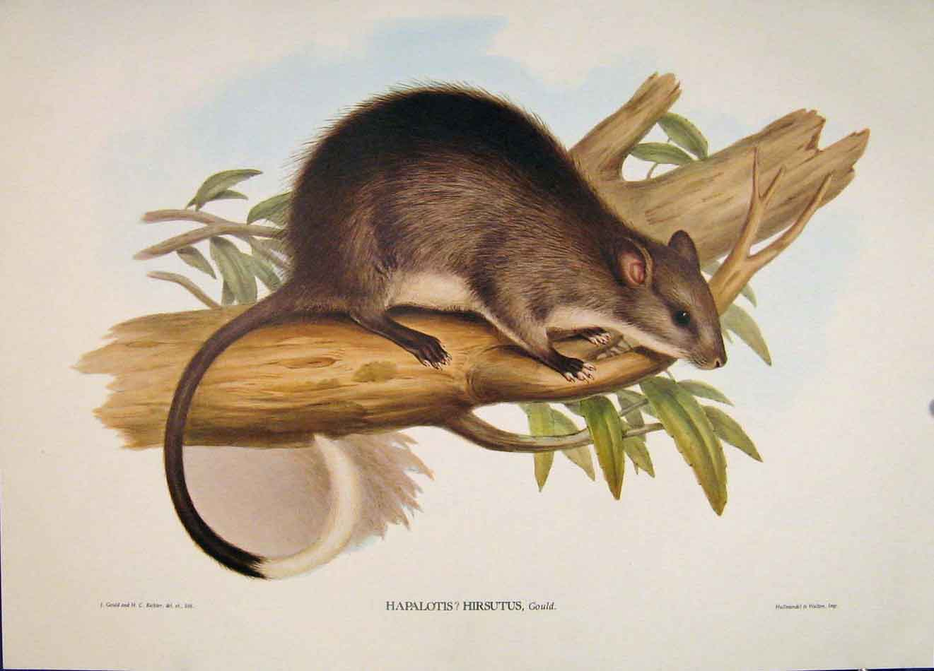 Print Gould's Mammals Australia 1863 Long Haired Hapalotis 046521 Old Original
