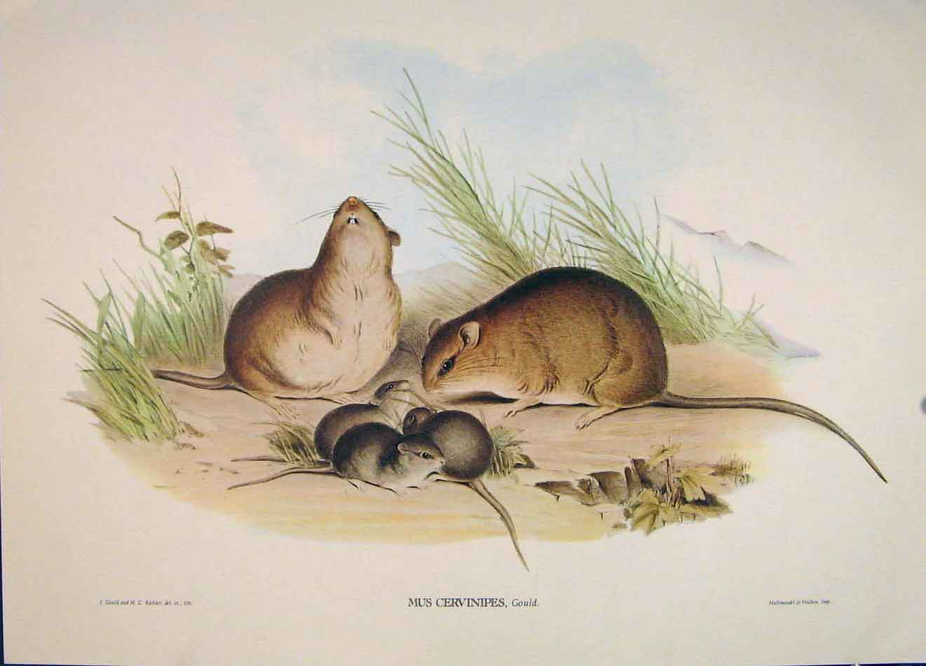 Print Gould's Mammals Australia 1863 Buff Footed Rat Mus 146521 Old Original