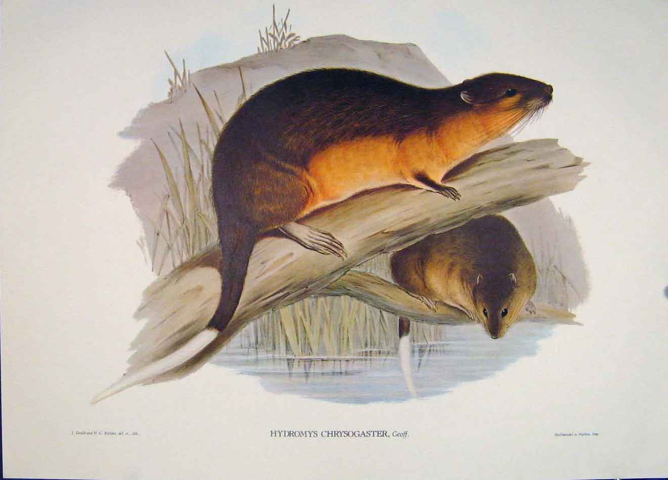Print Gould's Mammals Australia 1863 Golden Belly Beaver Rat 206521 Old Original