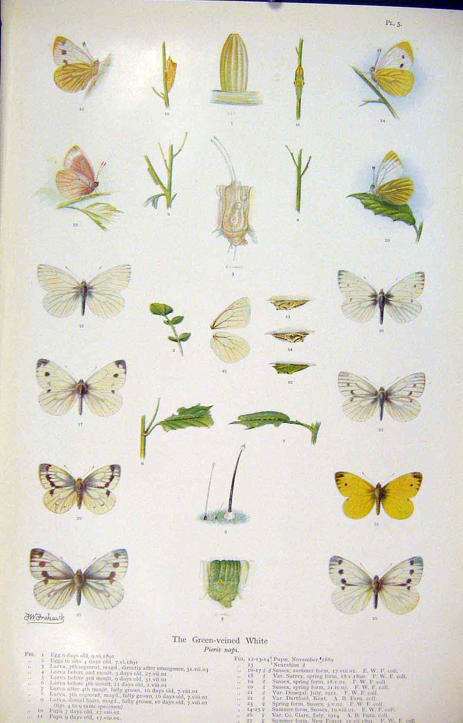 Print Green Veined White Colored Butterfly Insect Worm 056621 Old Original