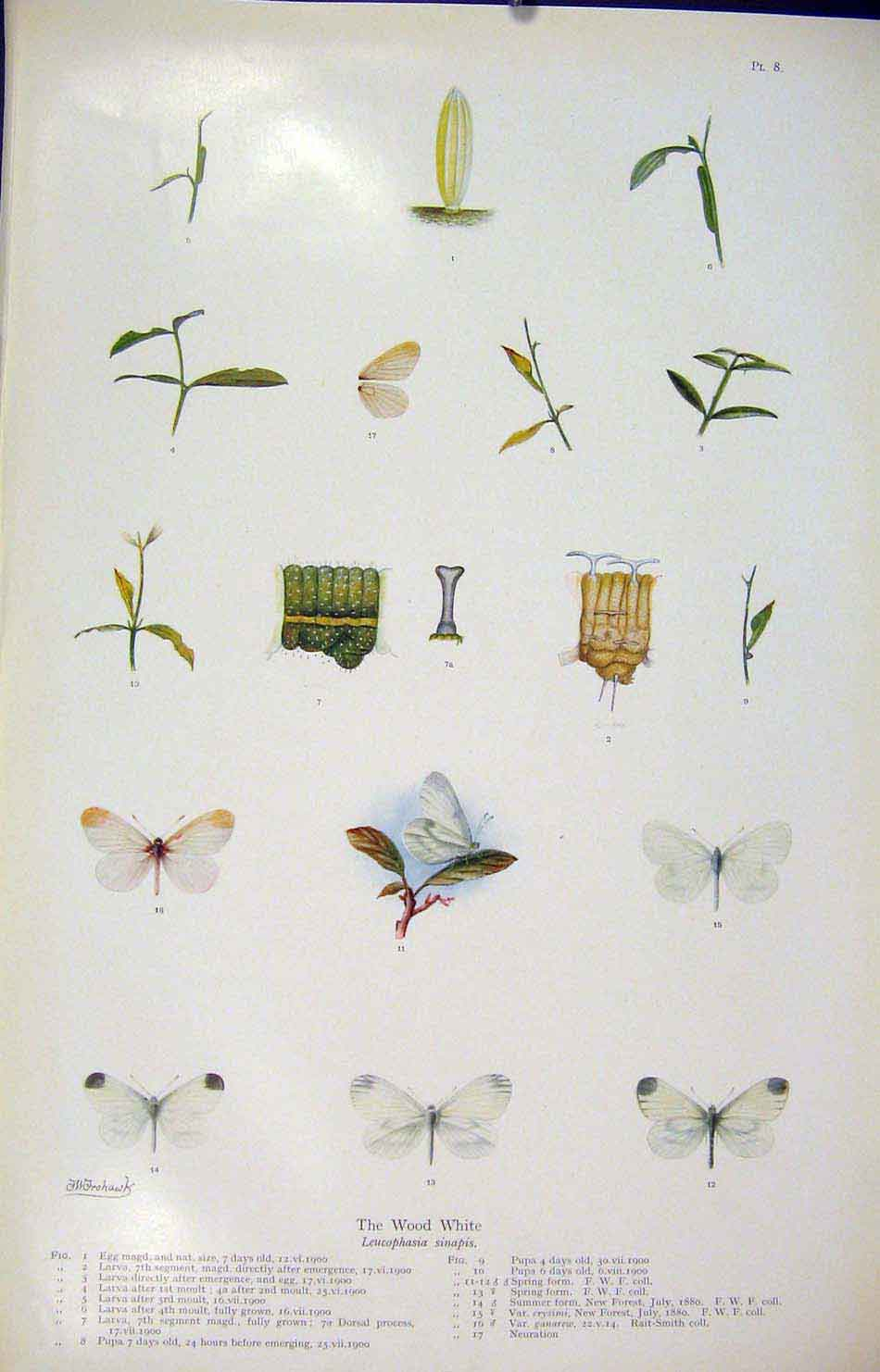 Print Wood White Butterfly Insect Color Art 086621 Old Original