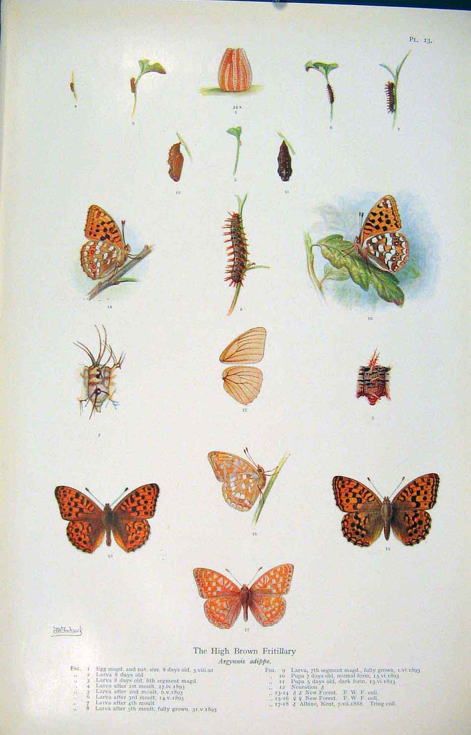 Print High Brown Fritillary Color Fine Art Insects 136621 Old Original