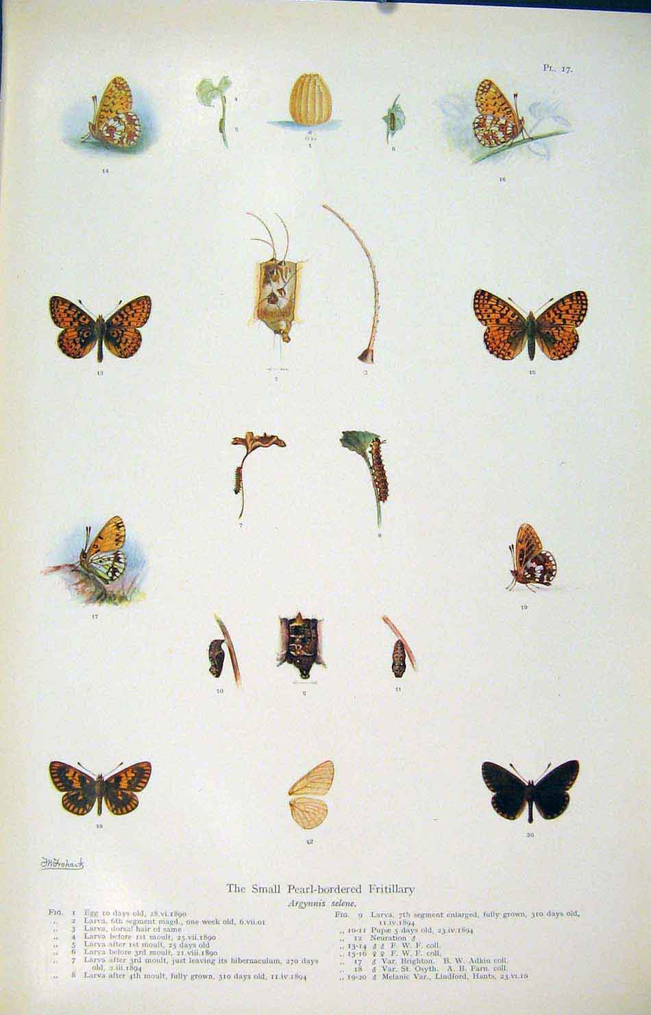 Print Small Pearl Boredered Fritillary Insects 176621 Old Original