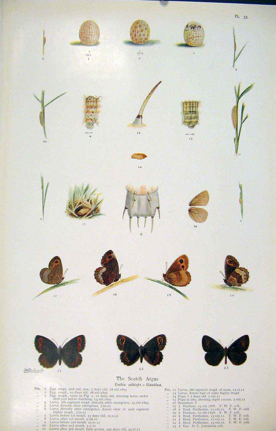 Print Scotch Argus Butterfly Moth Larva Shell 336621 Old Original