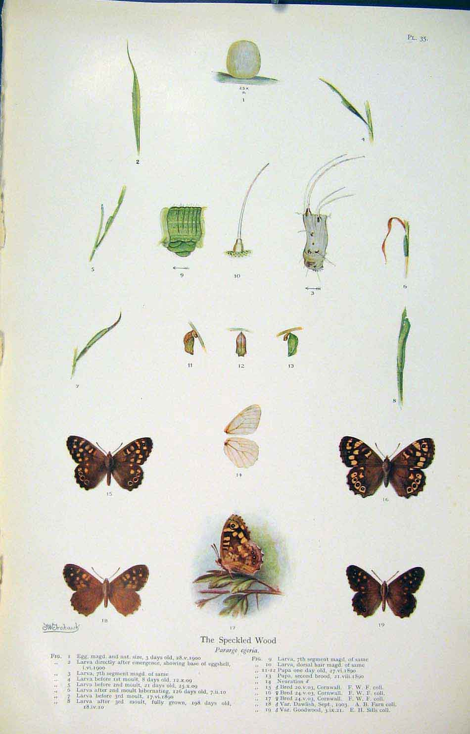 Print Speckled Wood Insect Larva Worm Butterfly Cycle 016621 Old Original