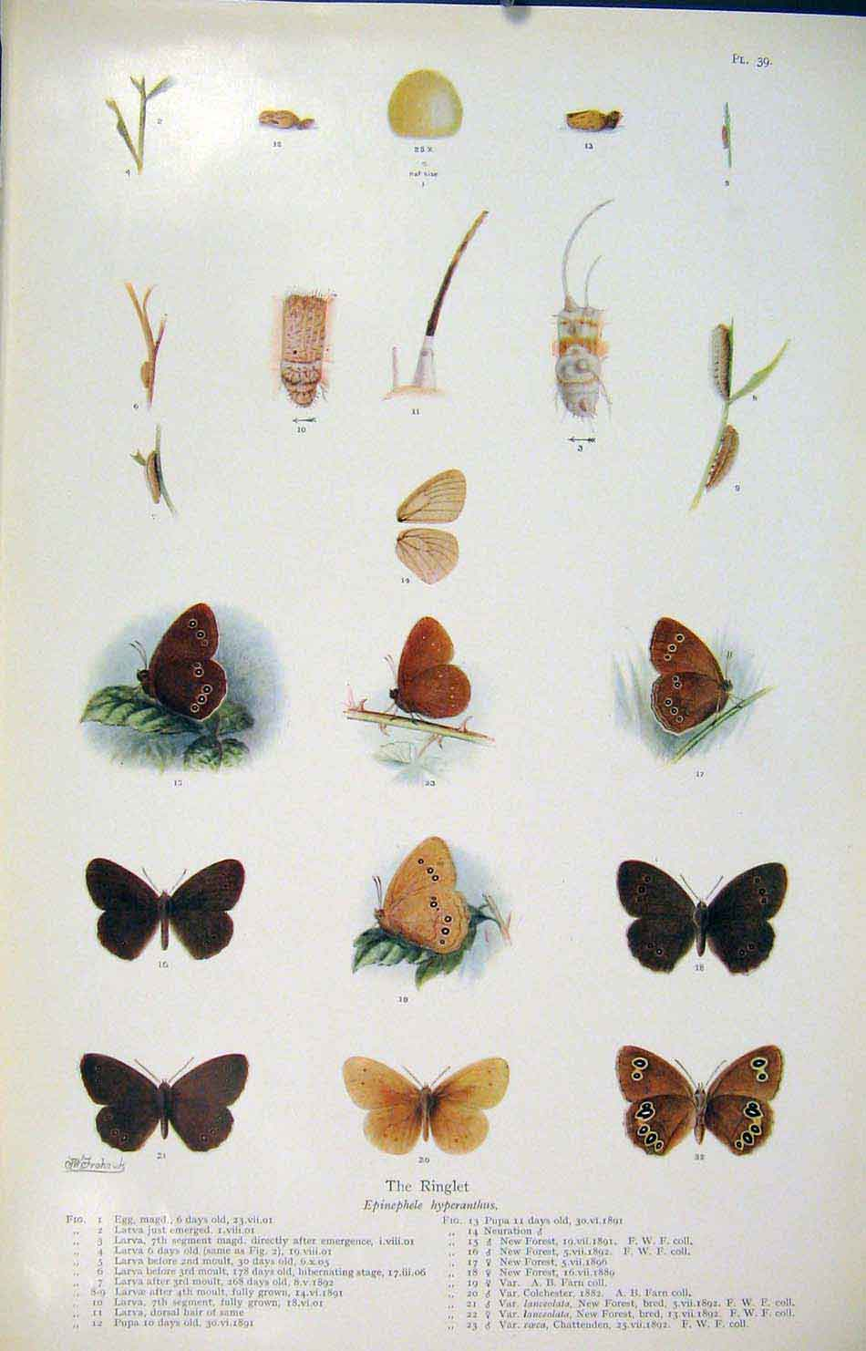 Print Ringlet Butterfly Insect Worm Larva Art 056621 Old Original