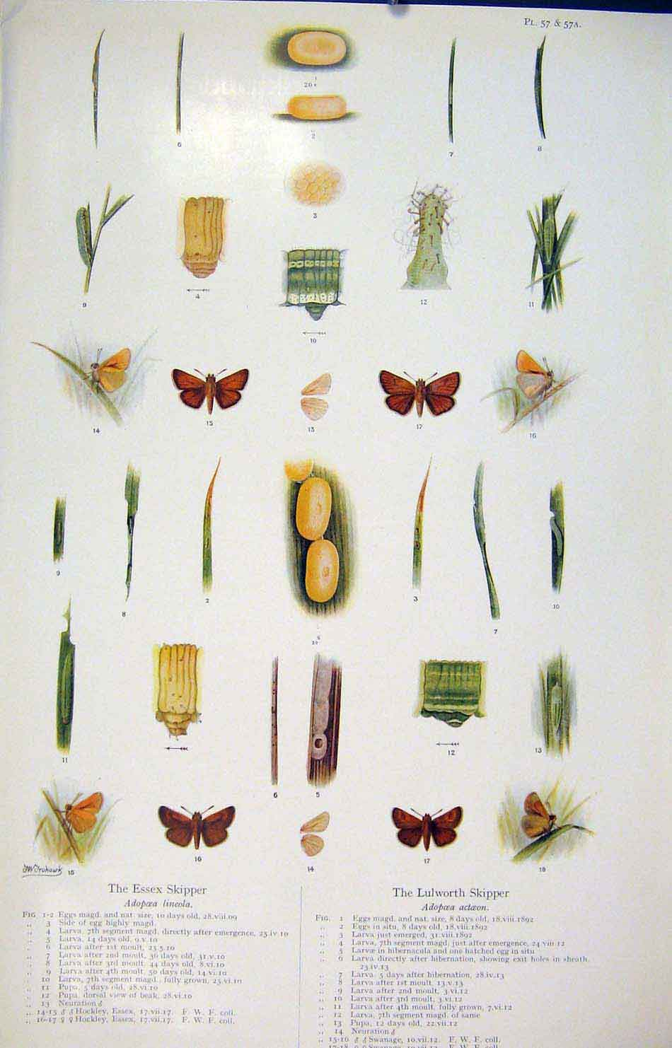Print Essex Skipper Lulworth Butterfly Insect 236621 Old Original