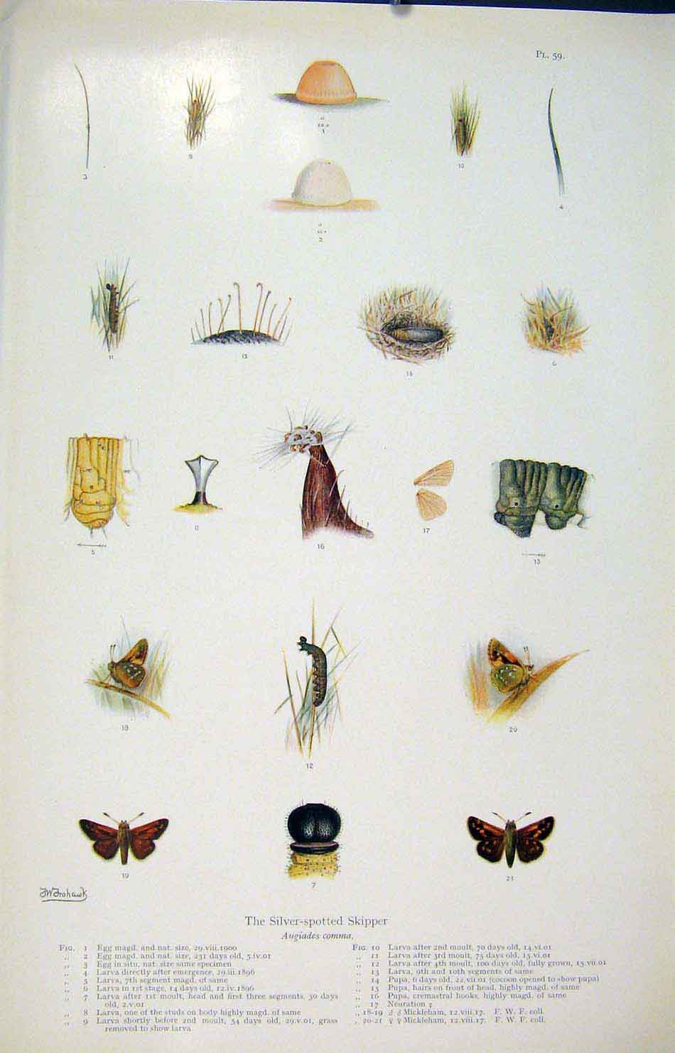 Print Silver Spotted Skipper Butterfly Art 256621 Old Original