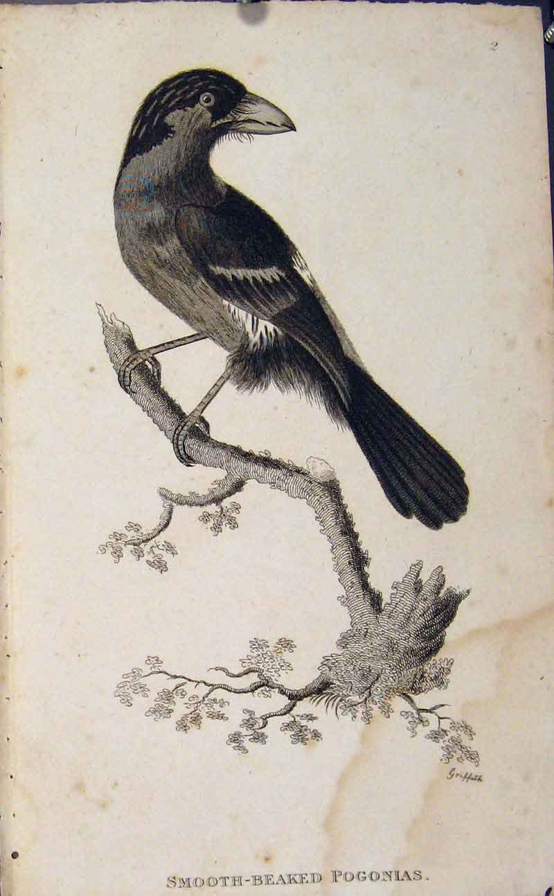 Print Smooth Beaked Pogonis Engraved Bird Art 026631 Old Original