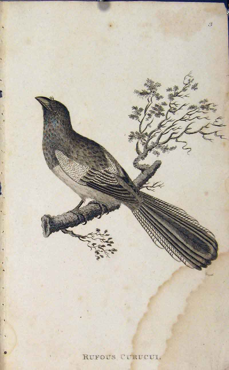 Print Rufous Curucui Copper Engraved Art Birds 036631 Old Original