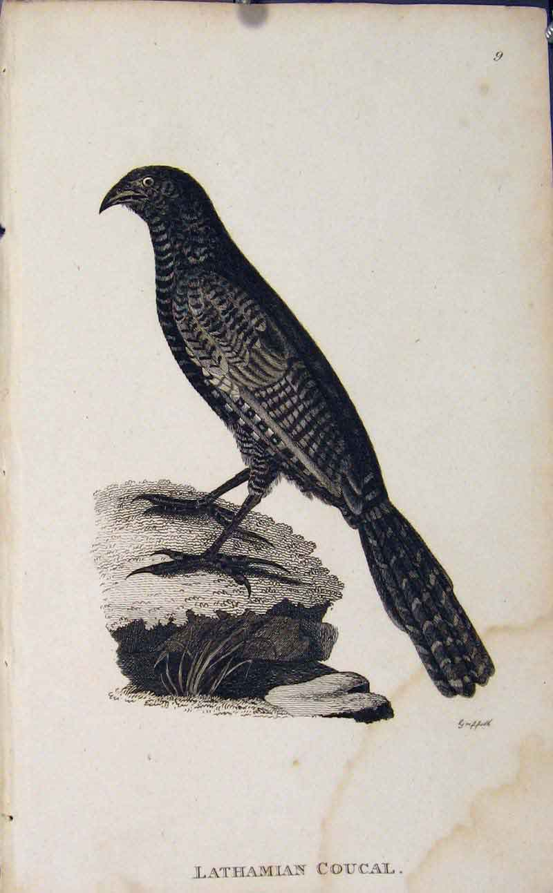 Print Bird Art Engraving Copper Lathamian Coucal 116631 Old Original