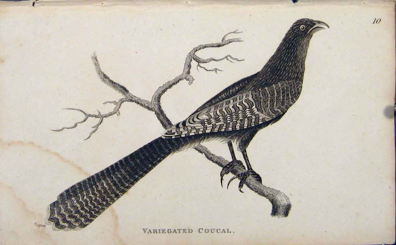 Print Variegated Coucal Bird Engraved Copper Art 126631 Old Original