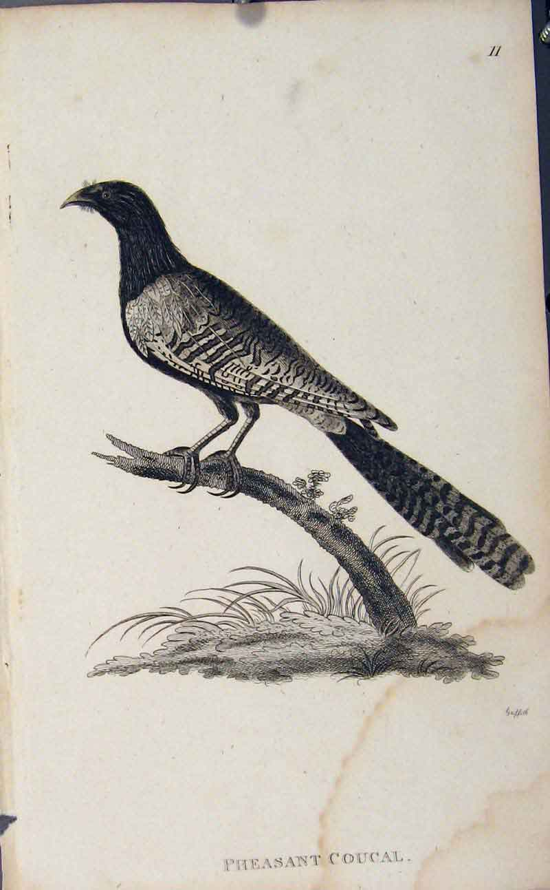 Print Pheasant Coucal Bird Engraved Art 136631 Old Original