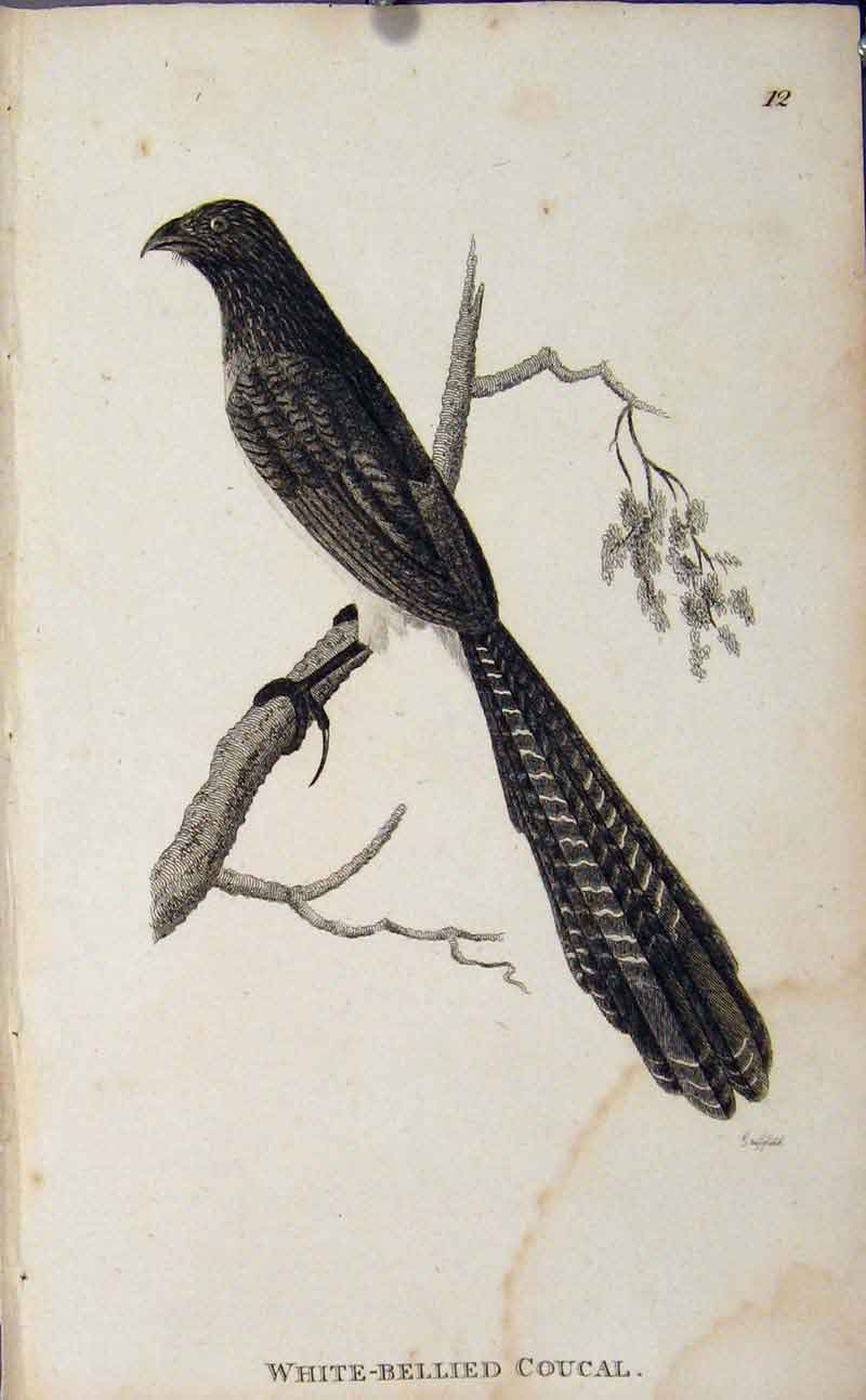 Print White Bellied Coucal Bird Engraved Art 146631 Old Original